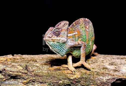 bright female Yemen chameleon on a tree on a black background