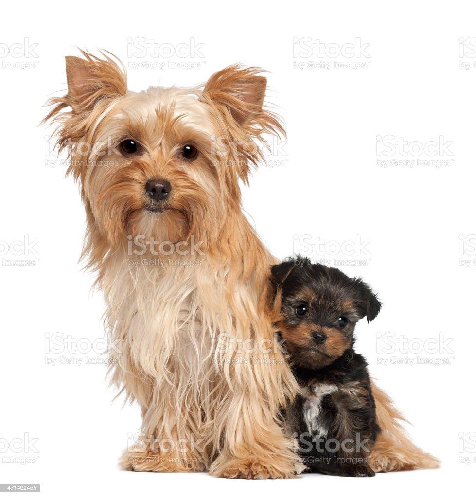 Fotografía de Hembra Terrier De Yorkshire Y Su Cachorro Sentado ...