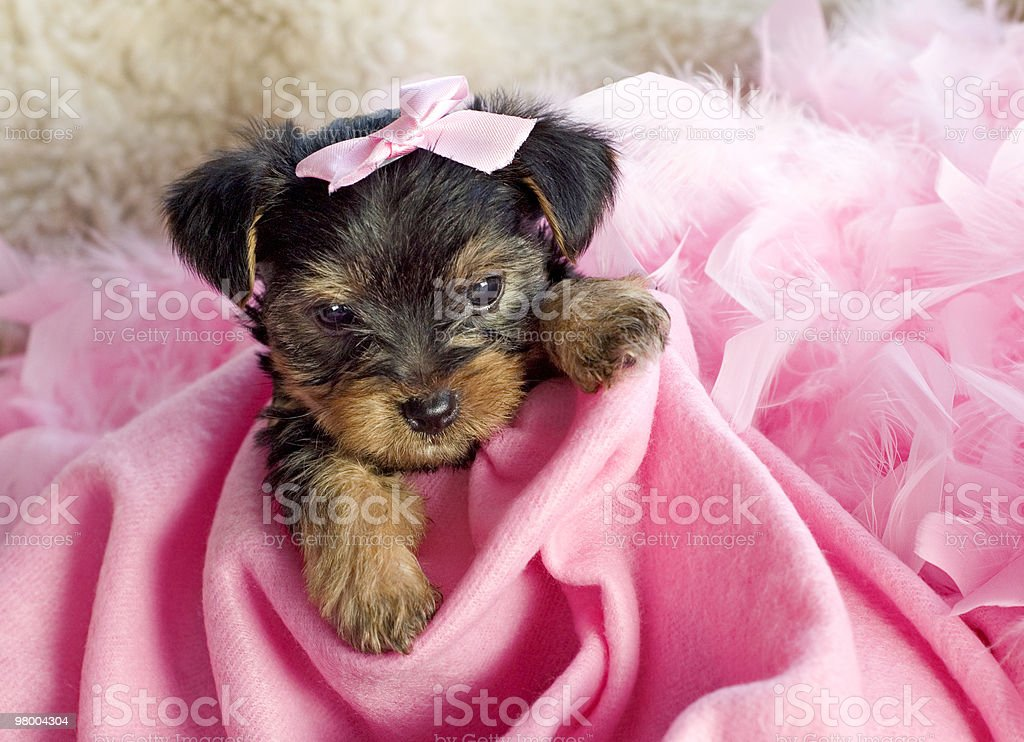 Female Yorkshire Terrier Puppy royalty free stockfoto