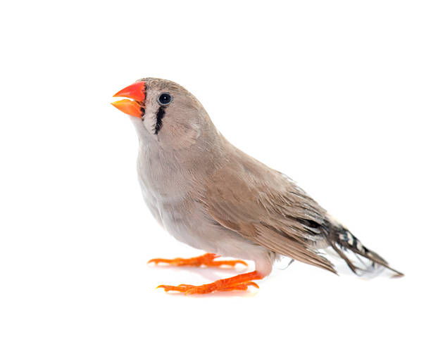 Royalty Free Zebra Finch Pictures, Images and Stock Photos ...