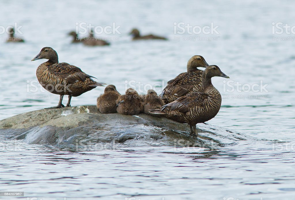 Females and babies Common Eider stock photo