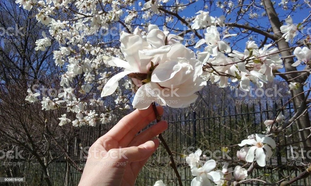 Weiblichen Hand hält einen Zweig mit Blüten von Magnolien. – Foto