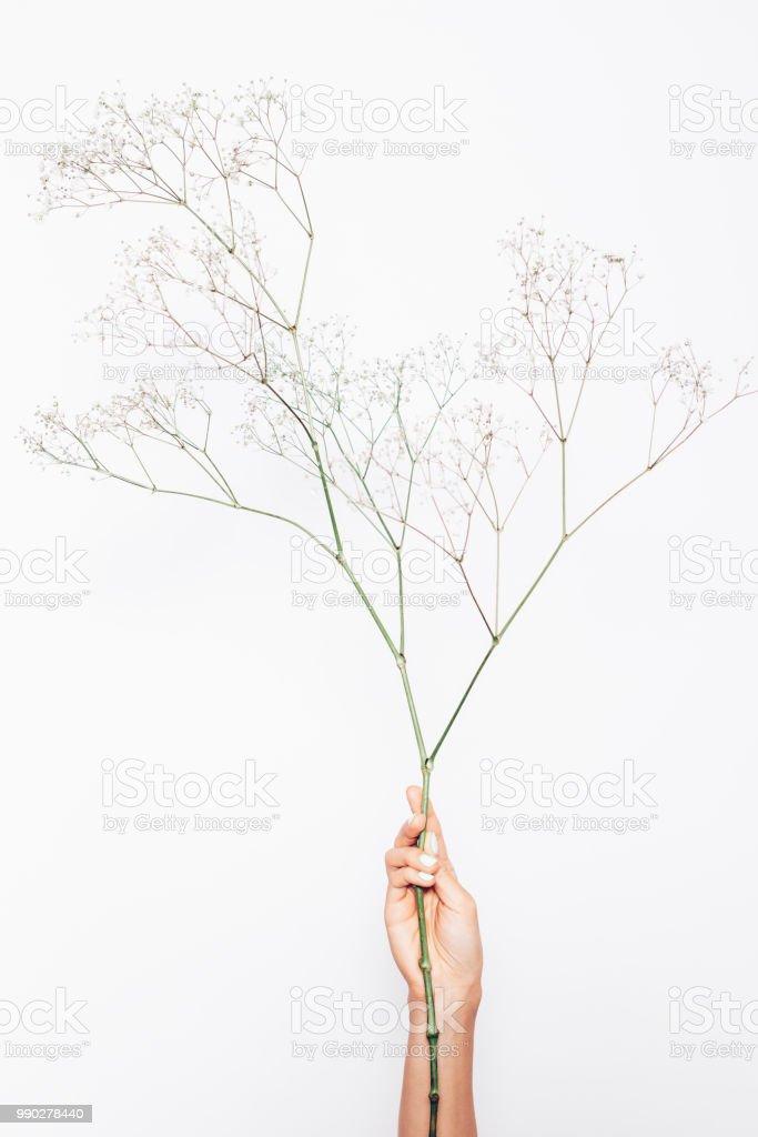 Female's hand holding branch of gypsophila on white background royalty-free stock photo