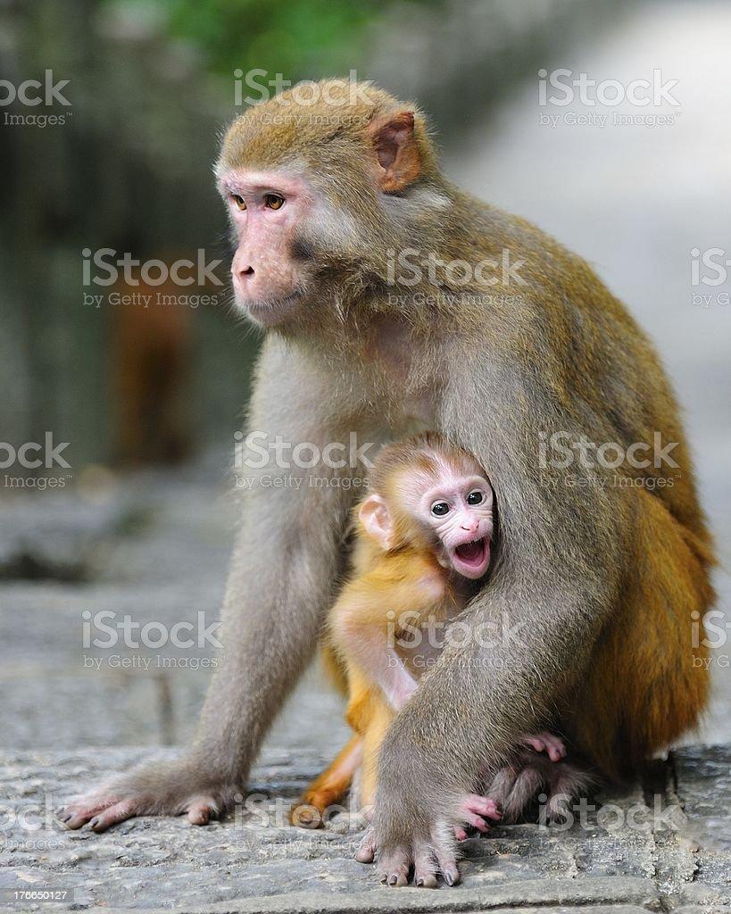 Las hembras en monos y su bebé 01 foto de stock libre de derechos