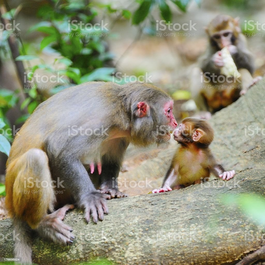 Females monkey and its baby royalty-free stock photo