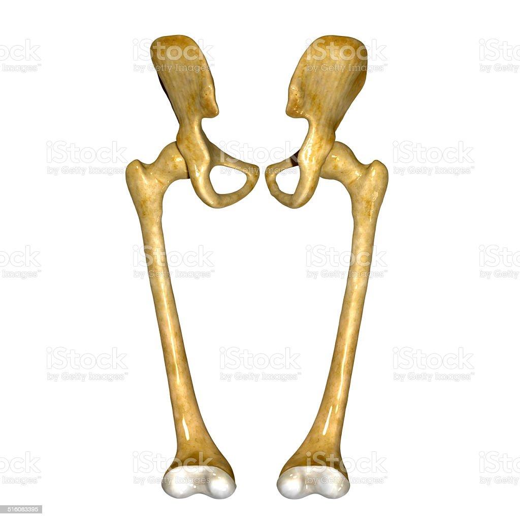 Fotografía de Fémur y más banco de imágenes de Anatomía | iStock