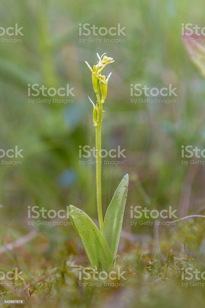Fen orchid - foto de acervo