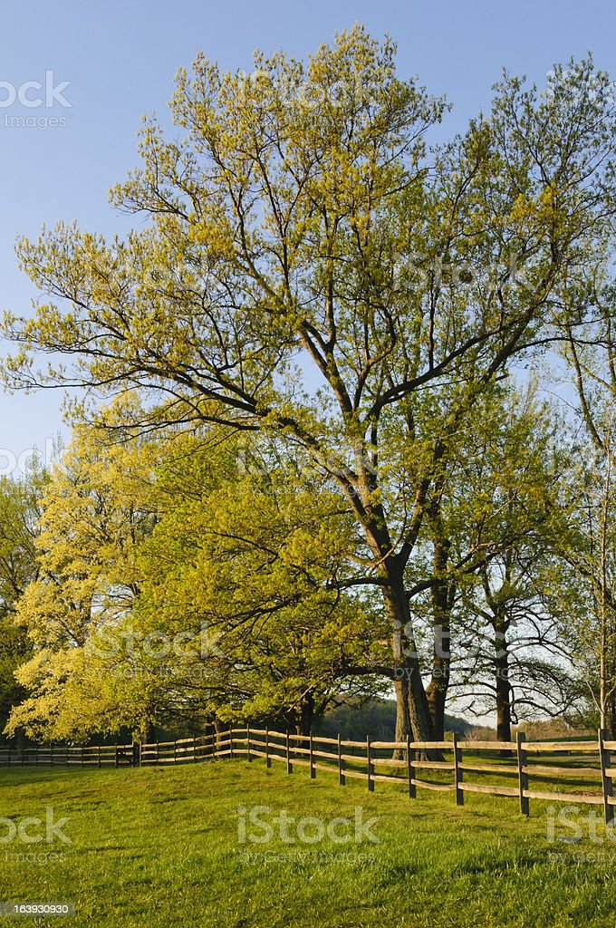 Fence and maple trees in spring stock photo