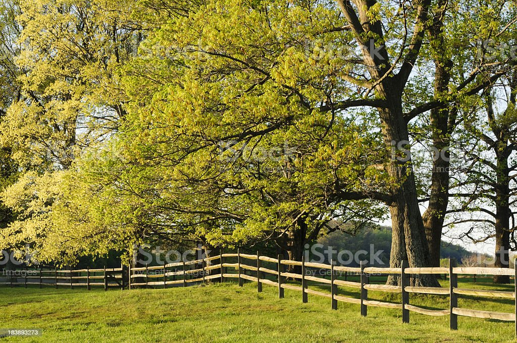 Fence and maple trees in spring royalty-free stock photo