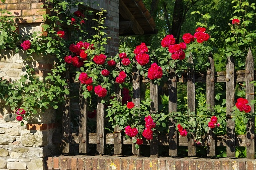 fence and roses