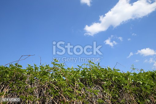 Fence from wild grapes. The blue sky with clouds.