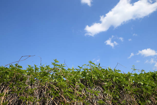 fence from wild grapes. - palisade boundary stock photos and pictures