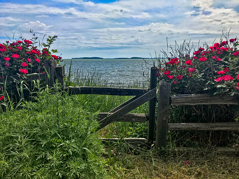 fence with roses near the sea