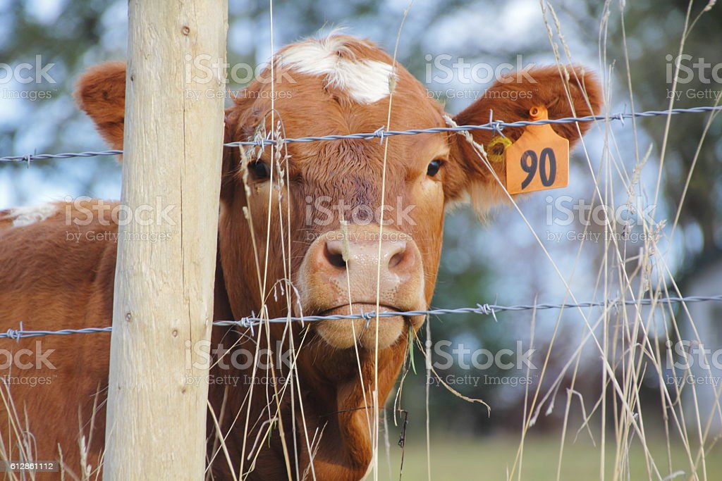 Fenced in Dairy Cow stock photo