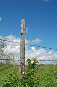 istock Fence,Wild Roses, and Blu Sky 115899435