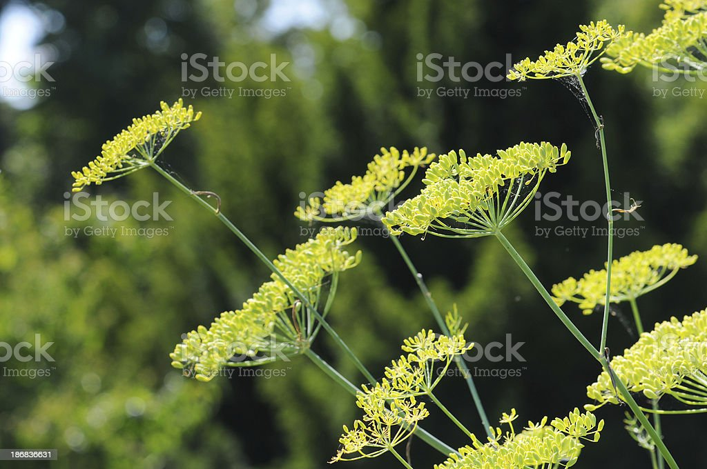Fenchel (Foeniculum vulgare) - Fennel royalty-free stock photo
