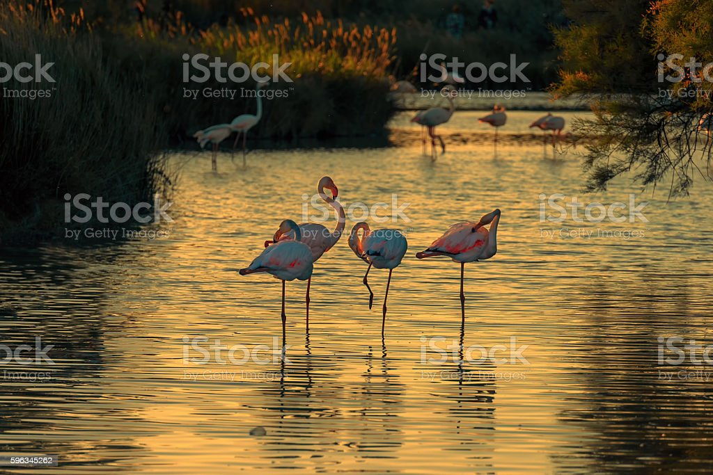 Fenicotteri al tramonto royalty-free stock photo