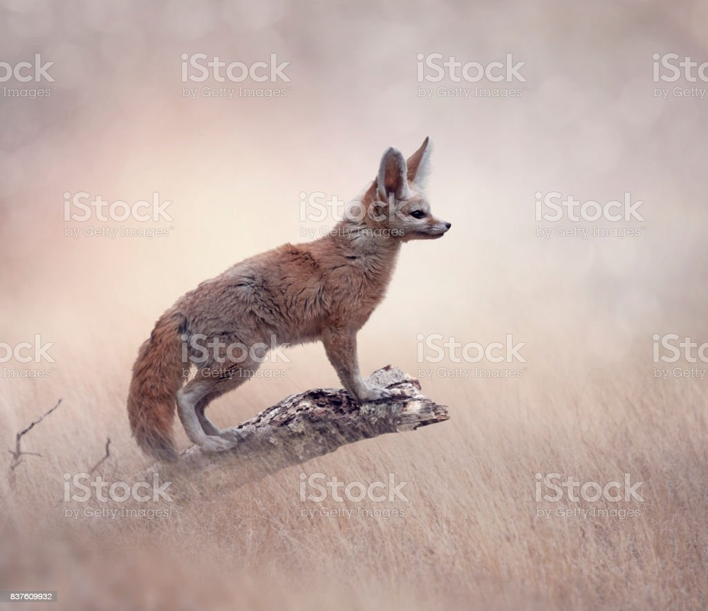 Fennec Fox on a tree stock photo