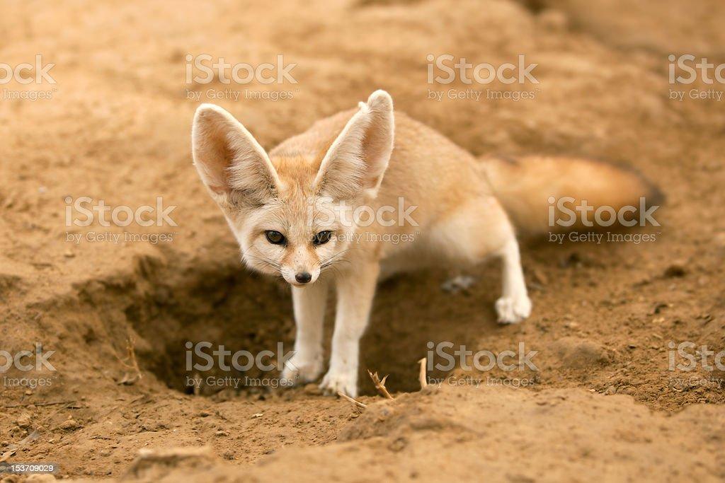 fennec fox royalty-free stock photo