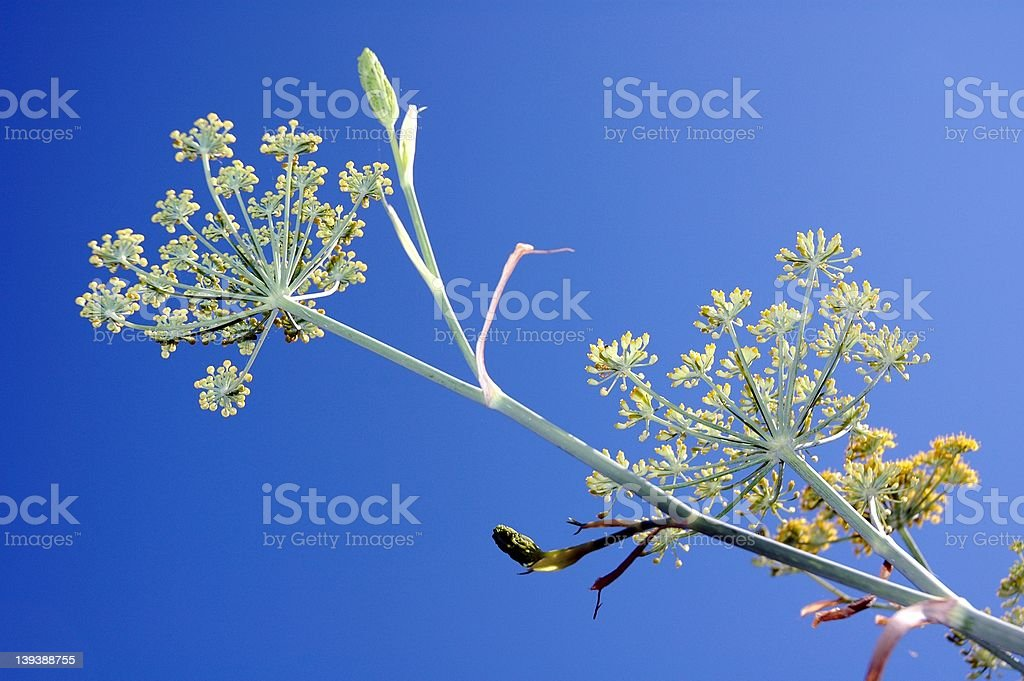 Fennel Flair 2 royalty-free stock photo