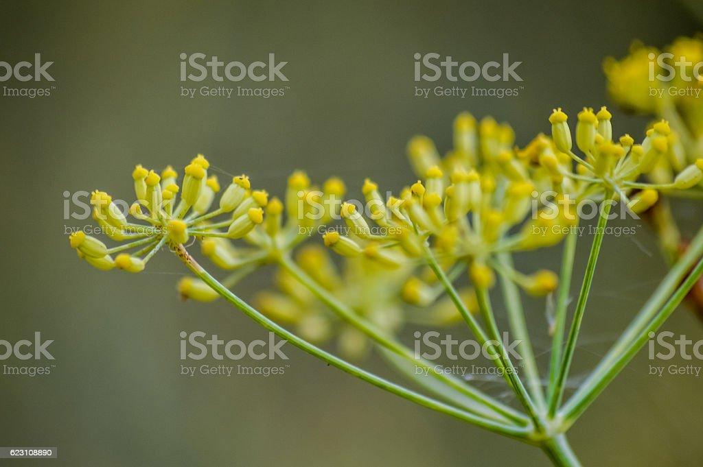 fennel flower buds macro stock photo