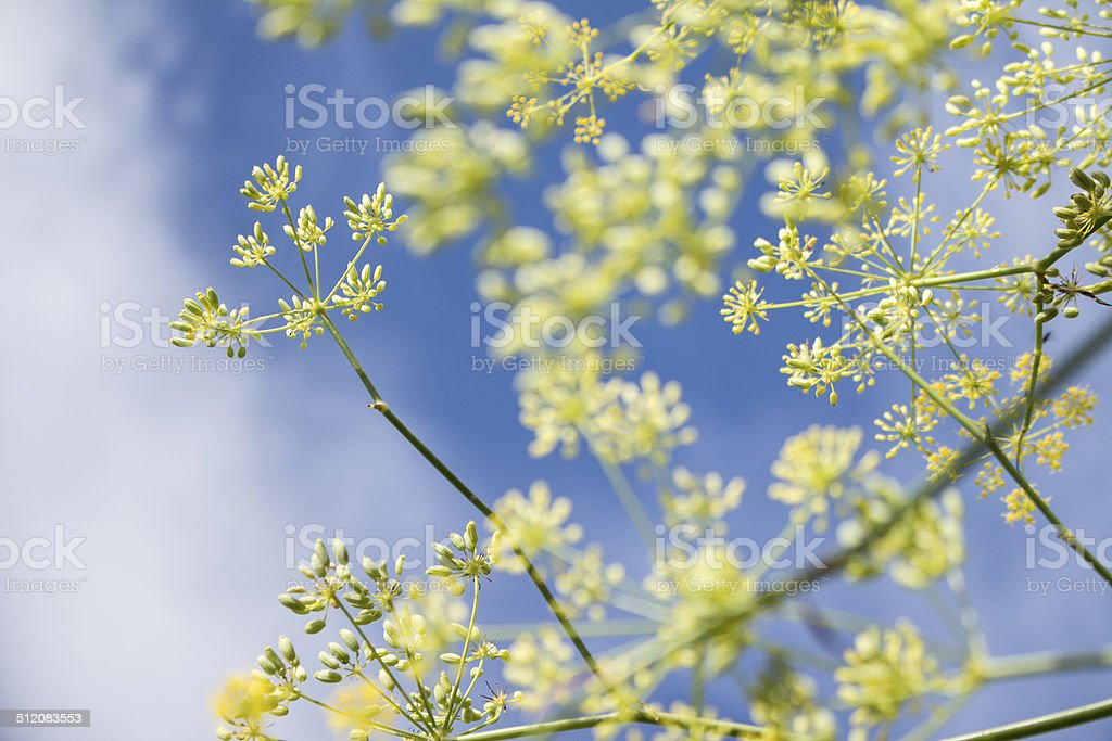 Fennel flowerheads (Foeniculum vulgare) stock photo