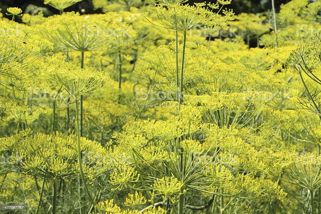 Fennel growing in home garden stock photo