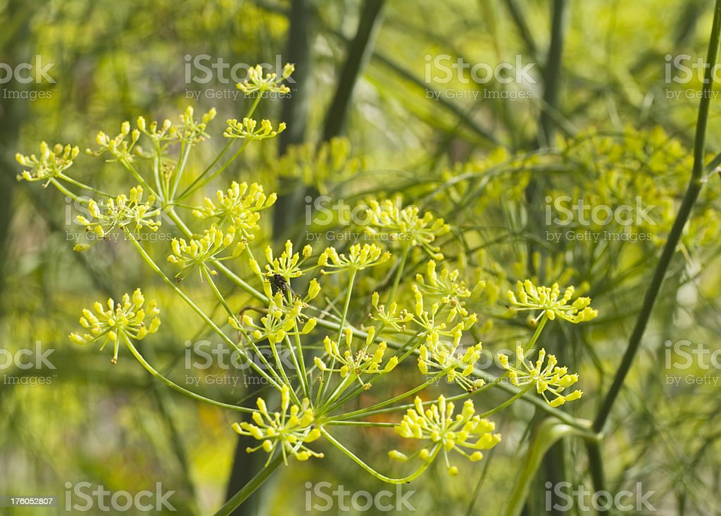 Fennel (Foeniculum vulgare) royalty-free stock photo