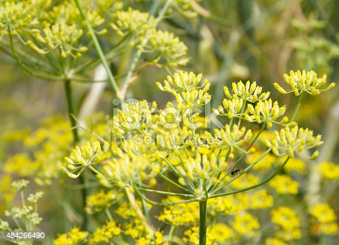 Tall, greyish-green, hairless, strongly pungent perennial forming large tufts; stems tough, erect, to 2,5m, often less, shiny, hollow when old. Leaves feathery, triangular in outline, 3-4 pinnate, with slender thread-like divisions and sheathing bases. Flowers yellow, 2-3mm, in umbels with 4-30 rays, without bracts. Fruit oblong, 4-10mm, ridged.