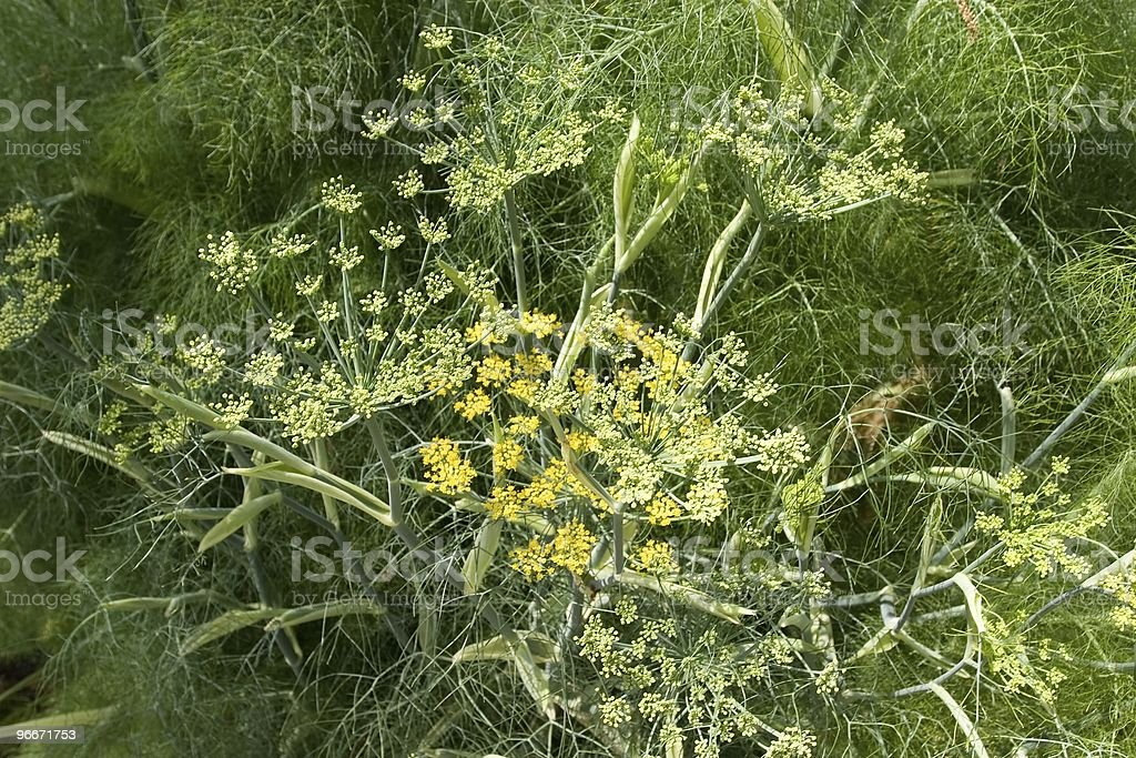 Fennel Fennel (Foeniculum vulgare) is a plant species in the genus Foeniculum Anise Stock Photo