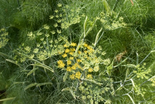 Fennel Stock Photo - Download Image Now
