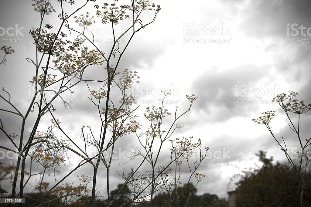 Fennel Plant and Autumn Sky stock photo