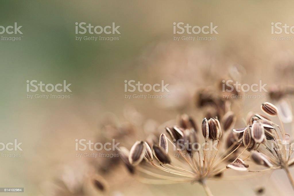 Fennel Seed Close-up Dill Plant Herb stock photo