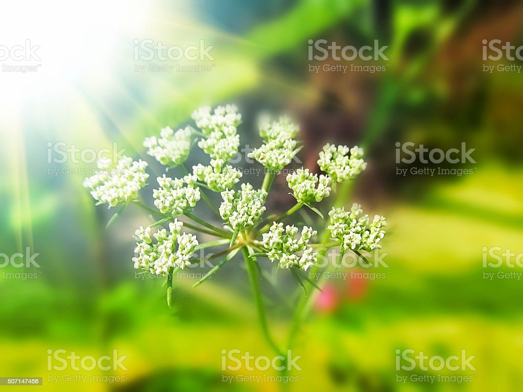 Fennel seed flowering top in the sunny day light. stock photo