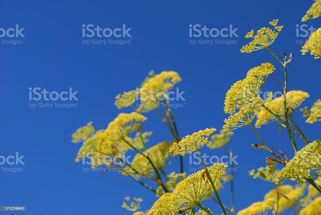 Fennel (Foeniculum vulgare) & Sky royalty-free stock photo