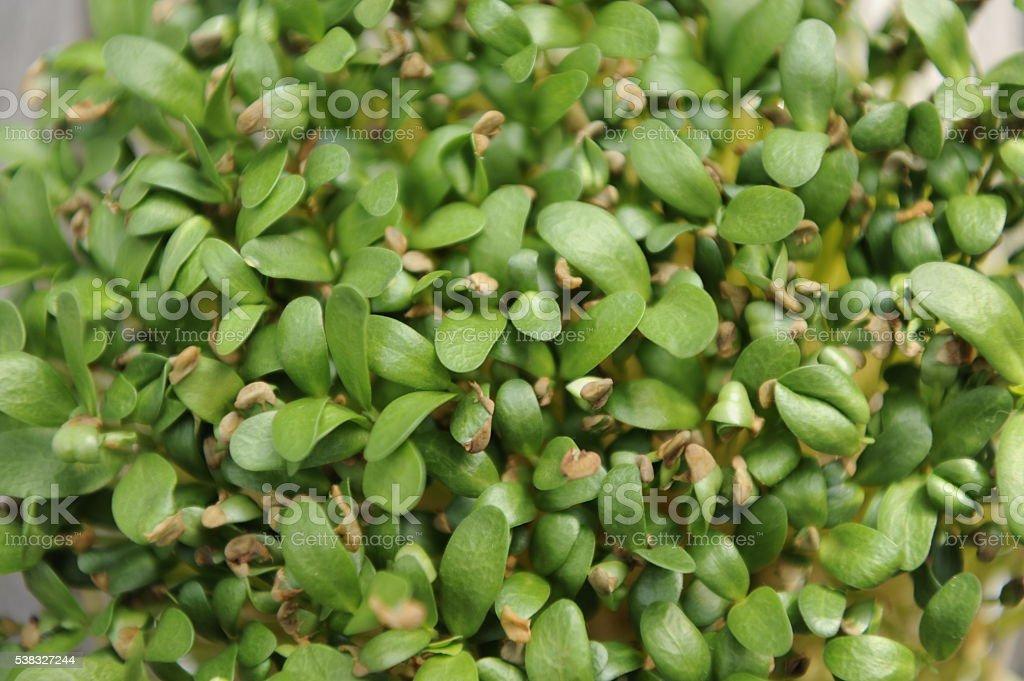 Fenugreek sprouts stock photo