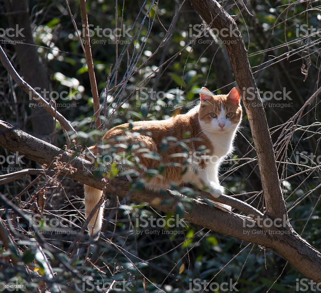 Feral Cat in a Tree stock photo