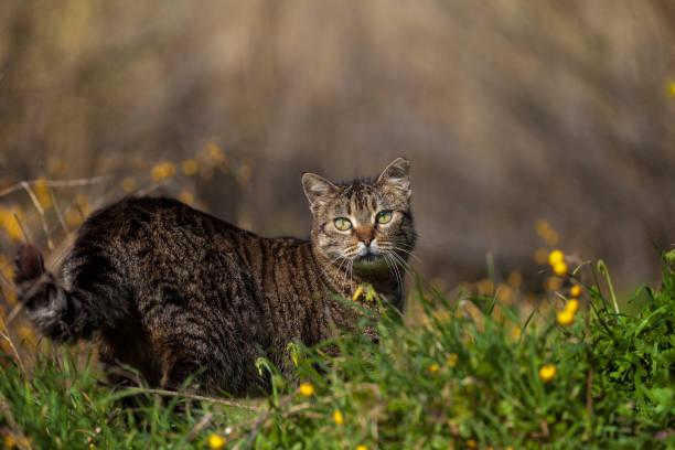 wilde katze - grau getigerte katzen stock-fotos und bilder