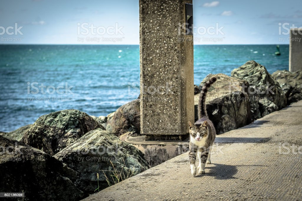 Feral Cat Walking by the Sea stock photo