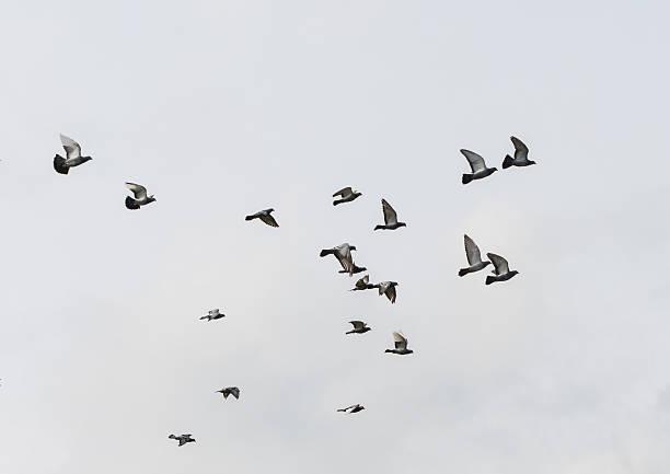 Feral Flocking stock photo