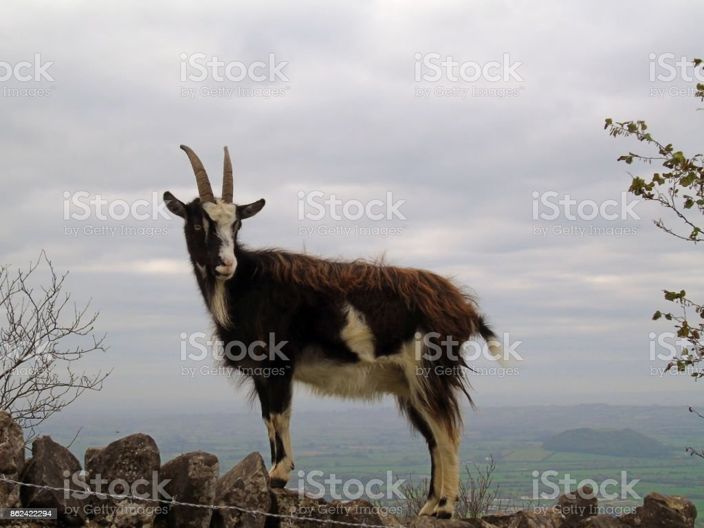 Feral Goat Climbing Stone Wall, Cheddar Gorge, Somerset, UK stock photo