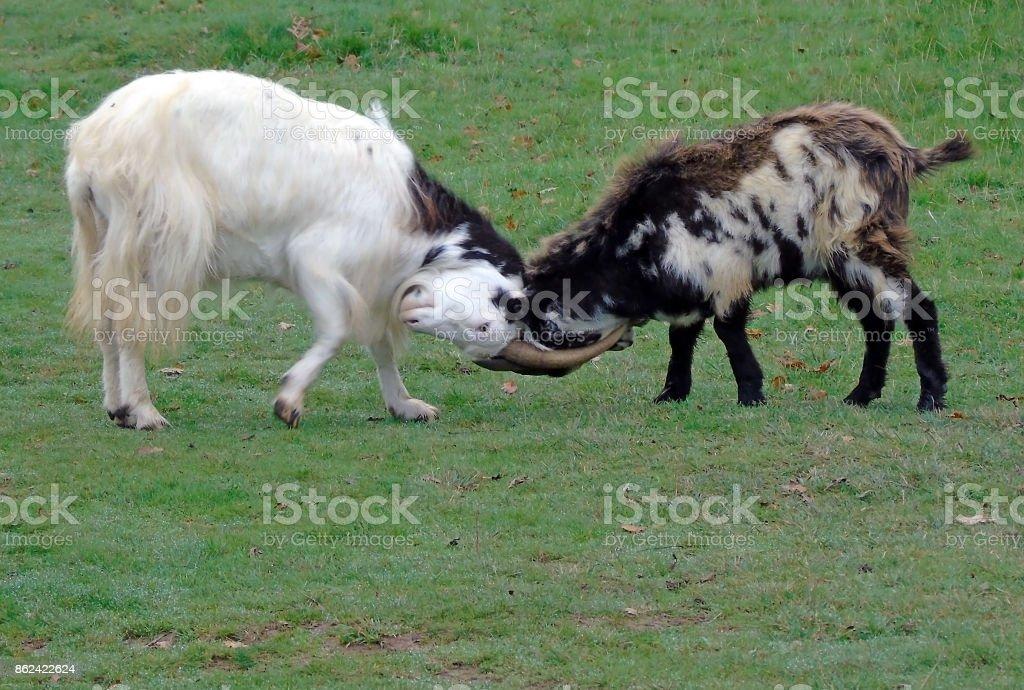 Feral Goats Locking Horns, Cheddar Gorge, Somerset, UK stock photo