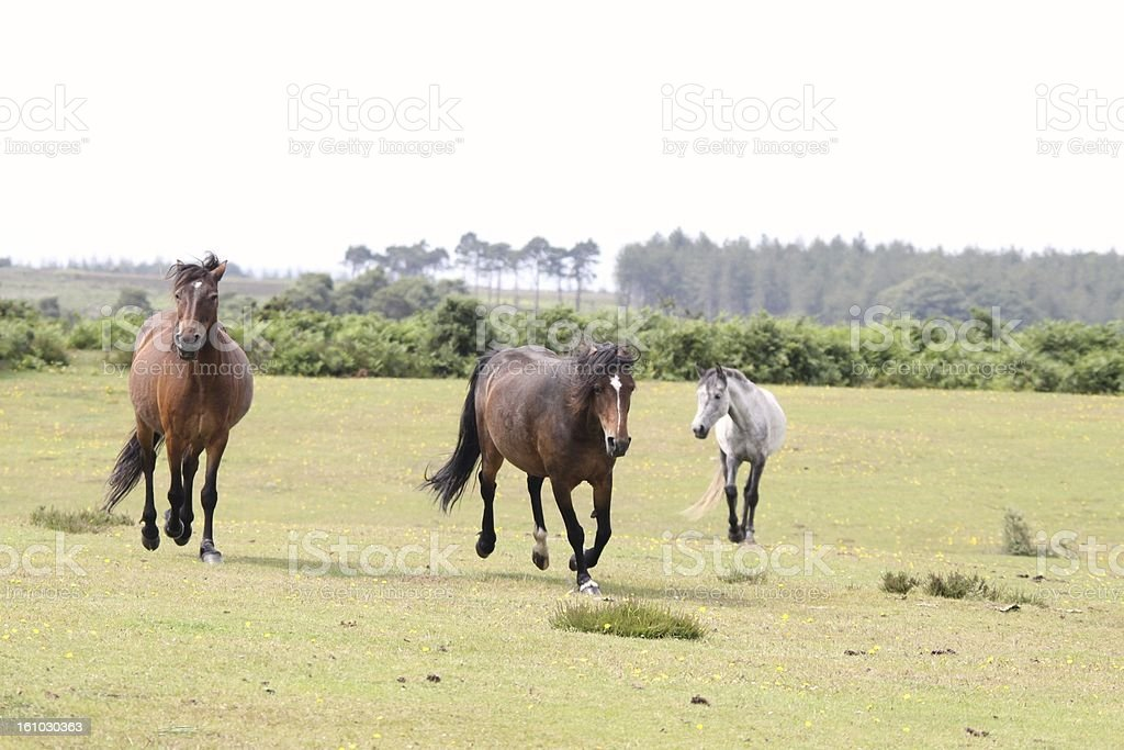 feral horses running on new forest plain royalty-free stock photo