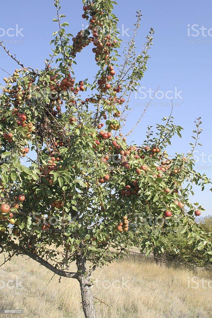 Feral árbol de manzana Macintosh foto de stock libre de derechos