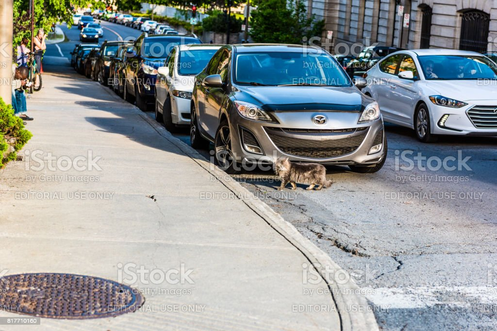 Feral maine coon cat walking on road by cars on Saint Hubert street in city in Quebec region stock photo