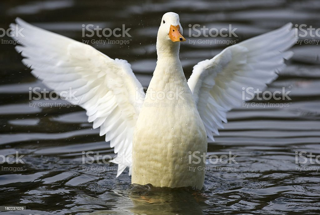 Feral Mire Duck stock photo