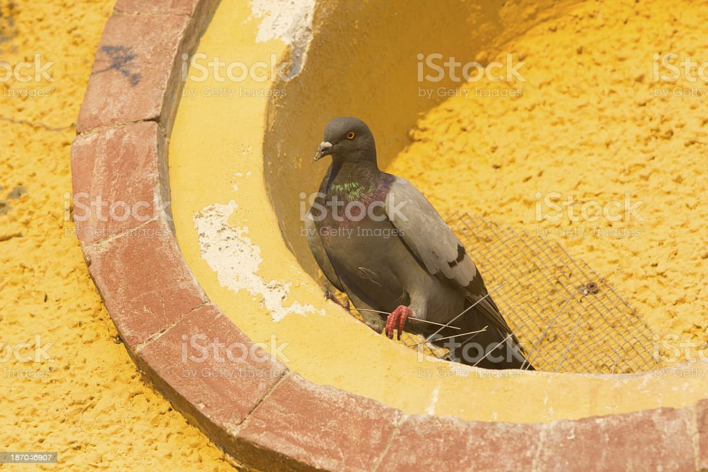 Feral Pigeon in Liguria, Italy royalty-free stock photo