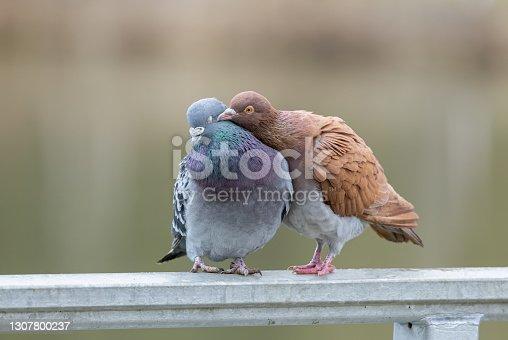Feral pigeons (Columba livia domestica) in love.