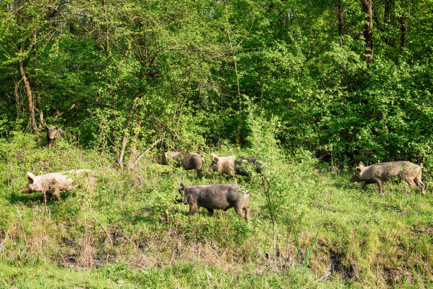 feral pigs grazing on green lawn - maiale domestico foto e immagini stock