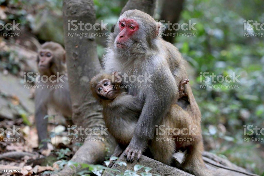 Feral Rhesus Monkeys Living in Zhangjiajie National Park China stock photo